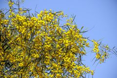 Yellow mimosa tree flowers close-up against a blue sky royalty free stock photography