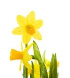 Yellow mini-narcissi Royalty Free Stock Photos