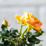 Yellow mini rose bush  on white background. Gardening, flowers. Royalty Free Stock Photos