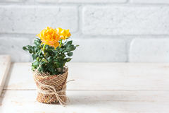 Yellow mini rose bush  on white background. Gardening, flowers. Royalty Free Stock Photo