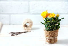 Yellow mini rose bush  on white background. Gardening, flowers. Stock Photography