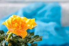 Yellow mini rose bush  on white background. Gardening, flowers. Stock Photo
