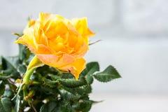 Yellow mini rose bush  on white background. Gardening, flowers. Stock Image