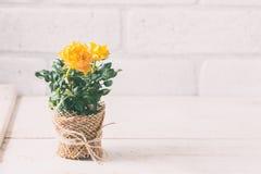 Yellow mini rose bush  on white background. Gardening, flowers. Royalty Free Stock Photos
