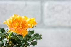 Yellow mini rose bush  on white background. Gardening, flowers. Stock Photos