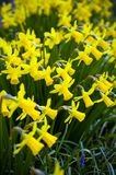 Yellow Miniature blooming Daffodils in home green garden.  royalty free stock photo