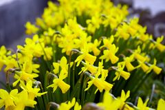 Yellow Miniature blooming Daffodils in home green garden royalty free stock photo