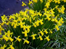 Yellow Miniature blooming Daffodils in home green garden.  royalty free stock image