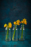 Yellow miniature daffodils Royalty Free Stock Image