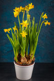 Yellow miniature daffodils Stock Photo