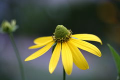 Yellow miracle. This beautiful and amazing flower. Miracle of the flower world Stock Photo