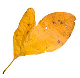 Yellow Mitten Leaf Stock Photo