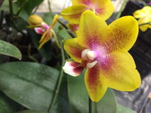 Yellow mixed purple orchids royalty free stock images