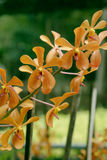 Yellow mokara orchids bouquet Royalty Free Stock Images