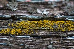 Yellow mold on the cracked wood macro Royalty Free Stock Image