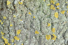 Yellow mold on the tree bark. Texture. Stock Images
