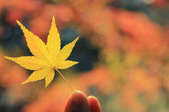 Yellow Momiji Leaf with Colorful Fall Background Royalty Free Stock Photos