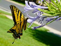 Yellow Monarch Royalty Free Stock Image