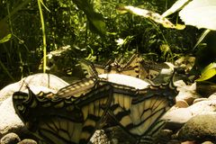 Yellow Monarch Butterflies close up, resting on rocks. stock photos