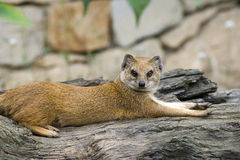 Yellow Mongoose. Mongoose is located on the trunk of the tree Royalty Free Stock Photography