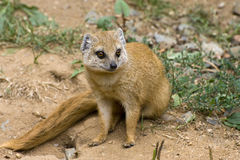 Yellow Mongoose. Mongoose sits on the ground Stock Images