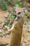 Yellow Mongoose. Mongoose standing on its hind legs and watches Stock Images