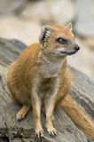Yellow Mongoose. Mongoose is sited  on the trunk of the tree Stock Image