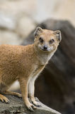 Yellow Mongoose. Mongoose is sited  on the trunk of the tree - portrait Royalty Free Stock Photography