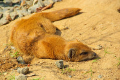 Yellow Mongoose Royalty Free Stock Photo