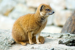 Yellow mongoose. Portrait of yellow mongoose (Cinyctis penicillata Royalty Free Stock Image
