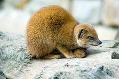 Yellow mongoose. Portrait of yellow mongoose (Cinyctis penicillata Royalty Free Stock Photo