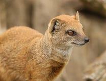 Yellow Mongoose. Portrait of a Yellow Mongoose Royalty Free Stock Photo