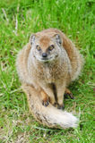 Yellow Mongoose Stock Photo