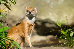 Yellow mongoose. Cute yellow mongoose (Cynictis penicillata Stock Image