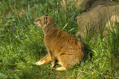 Yellow Mongoose Royalty Free Stock Photo