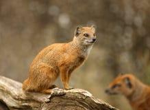 Yellow Mongoose. Portrait of a Yellow Mongoose Stock Photography