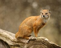 Yellow Mongoose. Portrait of a Yellow Mongoose Royalty Free Stock Image