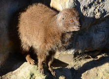 Yellow Mongoose Royalty Free Stock Photos