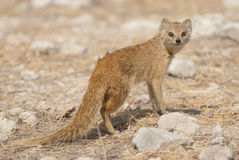 Yellow mongoose. Smallish mongoose; pointed face; diurnal; solitary, in pairs or small groups; largely yellowish with white tail tip;  striking red eyes Royalty Free Stock Images