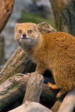 Yellow Mongoose Stock Photography