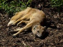 Yellow mongoose Stock Image