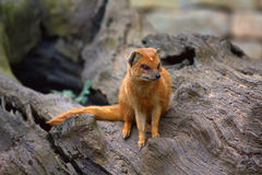 Yellow mongoose. On the old trunk Royalty Free Stock Photo