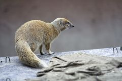 Yellow mongoose. Cynictis penicillata, looking to right, tail in front royalty free stock photography