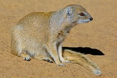 Yellow mongoose. (Cynictus penicillata), Kalahari desert, South Africa Stock Photo