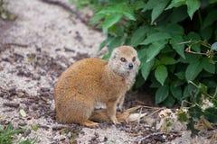Free Yellow Mongoose Royalty Free Stock Photos - 33634818