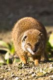 Yellow mongoose. Getting angry to another mongoose Stock Photography