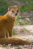 Yellow mongoose. Lives on grasslands in Africa Royalty Free Stock Photo