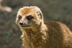 Yellow mongoose. Lives on grasslands in Africa Royalty Free Stock Photography