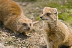 Yellow mongoose. Lives on grasslands in Africa Stock Image