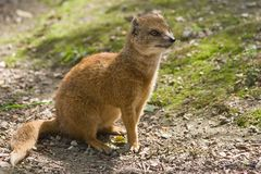 Yellow mongoose. Lives on grasslands in Africa Royalty Free Stock Images